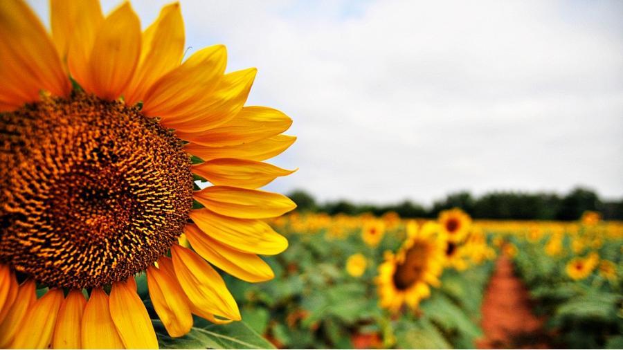 sunflower animal feeds